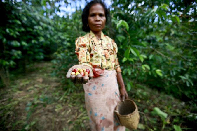 Una donna di Ermera tiene in mano e mostra i chicci di caffè che ha raccolto