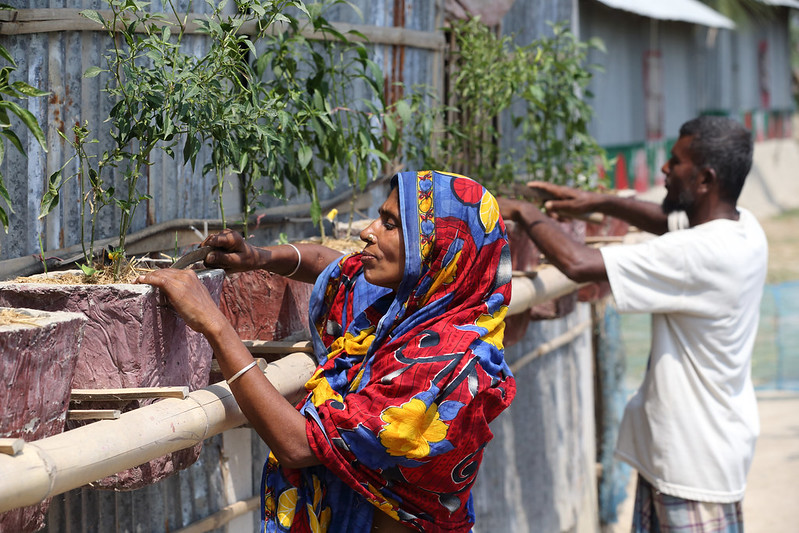 A woman and her husband growing chillies at their climate smart house in Satkhira, Bangladesh.