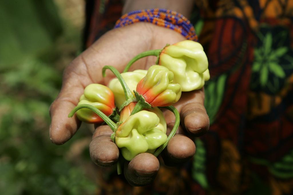 La mano di una donna senegalese contenente alcuni peperoncini dell'orto.
