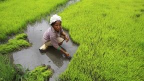 Donna che raccoglie il riso a mano in una risaia a Timor-Est.