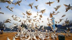 Colombe, simbolo di pace, liberate nei pressi della moschea di Hazrat-i-Ali, Afhanistan, nella giornata internazionale della pace, che ricorre il 21 settembre.