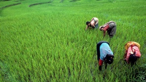 Coltivatori di riso lavorano nei campi in Palung, Nepal