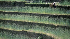 Una donna taglia l'erba per nutrire il bestiame a Lamaku, Nepal orientale