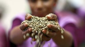 Un coltivatore di caffè tiene tra le mani una manciata di chicchi, in una cooperativa di Timor Est (2009)