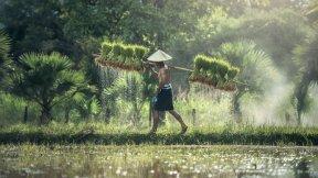 Immagine rappresentante un contadino che lavora in una risaia