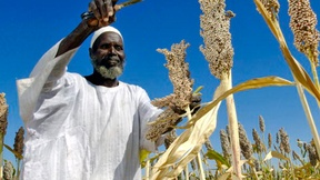 "A local farmer harvests sorghum produced from seeds donated by the Food and Agriculture Organization (FAO) through the ""Improving Seeds"" project."