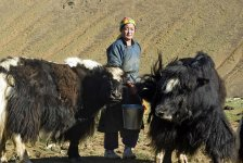 Una donna pastore munge i suoi yak, Khovd, Mongolia, 2009